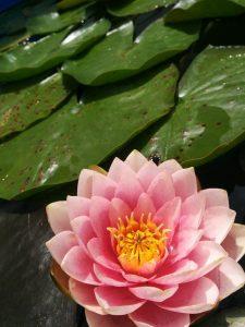 fleur_de_lotus_rendez-vous_contact